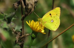 Butterflies of Bulgaria: Clouded yellow or Eastern pale clouded yellow (Elisa1880) Tags: oranje luzernevlinder colias crocea clouded yellow oostelijke erate eastern pale bulgaria bulgarije vlinder butterfly rila mountains rilagebergte govedartsi