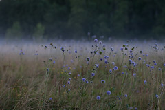Foggy meadow (konstantin_konduktorov) Tags: crop 30d sigma50mmf14art dof meadow fog
