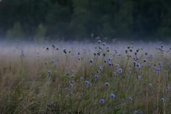 Foggy meadow (konstantin_konduktorov) Tags: crop 30d sigma50mmf14art dof meadow fog