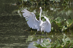 John Heinz National Wildlife Refuge 8-20-2016-182 (Scott Alan McClurg) Tags: aalba ardea ardeidae papilionidae philadelphia conservation egret flight fly flying glide gliding greatblueheron green gretegret johnheinzfederalwildliferefuge land landing life nature naturephotography park pennsylvania pond reflection water wetlands wild wildlife