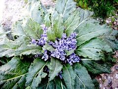 Mandragora officinarum (Nasr Habib Abdalla) Tags: mandragoraofficinarum solanaceae alraune mandrake اليبروح بيضالجن تفاحالمجانين