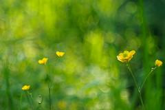 Hunting for bokeh (4) (Karsten Gieselmann) Tags: microfourthirds grn vintagelens schrfentiefe czjpancolar50mmf18 gelb focusblending em5markii bokeh kgiesel dof farbe olympus color green m43 mft yellow
