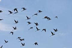 Follow the Leader -- Migrating Black-necked Stilts (Himantopus mexicanus); Belen Wetlands, NM [Lou Feltz] (deserttoad) Tags: wildlife nature newmexico wetlands desert behavior bird wildbird shorebird stilt flight flock water