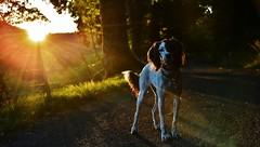 ~~Mon rayon de soleil...~~ (Jolisa) Tags: soleil rayons rais coucherdesoleil atardecer sunset aot2016 soir evening hlna chien dog chemin lumire light