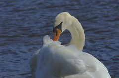 Mute Swan, Cygnus olor (ianmcfarlane2355) Tags: cygnusolor muteswan rivertweedpaxton berwickshire scotlanduk