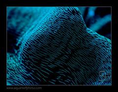 STETderasa-lumnoire7336_160616 (kactusficus) Tags: marine aquarium reef tank home coral blacklight led protein fluo fluorescence tridacna derasa clam benitier