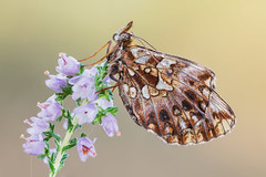 Boloria dia (Prajzner) Tags: boloriadia weaversfritillary lepidoptera sigma105mmmacro sigma manfrotto macro manfrottomt190xpro3 focusstacking subcarpathia nature nikond7100 butterfly dofstacking