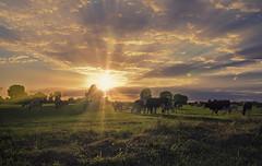 Sunny cows (RigieNL) Tags: animal cow koe nederland netherlands gennep limburg sundown sunray sunrays sunset holland hdr