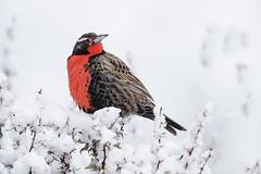 Loica comn (Sturnella loyca) (impodi@gmail.com) Tags: laloicacomn lloica milico sturnellaloyca aves birds wildlife pechocolorado nieve patagonia chile torresdelpaine