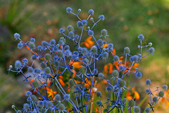 Sea Holly flowers (Eryngium planum blue cap) (natureloving) Tags: eryngiumplanumbluecap seaholly flowersinfrance fleursenfrance flowersineurope natureloving nikon d90 nature afsvrmicronikkor105mmf28gifed