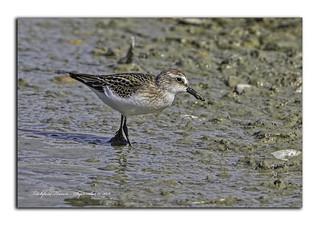 Semipalmated Sandpiper (Juvenile) - Titchfield Haven NNR