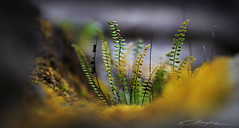 Tiny Sporelings (MaaykeKlaver) Tags: tiny sporelings ferns plants macro love moss forest garden nature plant green yellow fairytale