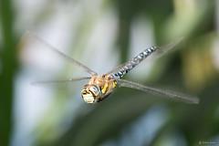 Migrant hawker dragonfly (Shane Jones) Tags: dragonfly insect bug wildlife compoundeye nikon d7200 tamron180mmmacro macro macrolife macrophotosnolimits macrolicious macromarvels migranthawkerdragonfly