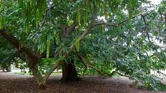"""Pterocarya Rehderiana"" Hybrid Wingnut Tree (standhisround) Tags: trees tree pterocaryarehderiana wingnut nature plant catkins nuts royalbotanicalgardens kewgardens kew rbg london uk"