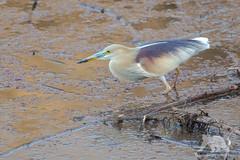 Indian Pond Heron (fascinationwildlife) Tags: animal bird waterfowl india indian pond heron vogel reiher prachtreiher summer wild wildlife nature natur national park ranthambhore asia