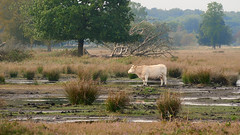 Stray cow (andzwe) Tags: cow solitary landscape drenthe dutch netherlands solo white panasonicdmcgh4 heath heide stronk boom bos forest plassen drassig afgedwaald strayed zwerfkoe dwingelderveld