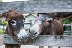 Donkeys love (du.da.ns) Tags: donkey animal zoo love paar nature esel tiere