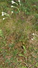 Silene nemoralis Waldst. & Kit. = Silene italica subsp. nemoralis (Waldst. & Kit.) Nyman (Peter M Greenwood) Tags: silenenemoralis sileneitalicasubspnemoralis silene nemoralis italica subsp