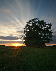 Illuminated flower (orellgarten) Tags: flower sunset tree baum sonnenuntergang blume wiese gras grass lawn field elbe dresden sachsen saxony sky himmel wolken sonne sun
