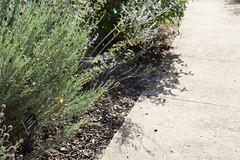 IMG_5399 (armadil) Tags: ucsantacruz ucscarboretum ucsantacruzarboretum flower flowers