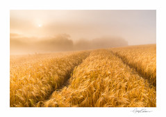 Into The Gold (George-Edwards) Tags: landscape field crop barley corn harvest farm farmland countryside rural golden summer seasons sunrise morning daybreak dawn sun sunlight mist fog cloud sky track path rolling hilltop nature berkshire england georgeedwards photography