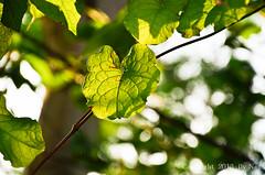 Leaves.. ( Nana) Tags: light plant color tree green love beautiful leaves backlight nikon colorful bokeh taiwan lovely  taiwan  i bokehlicious   greennatural d7000