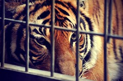 captivity (D O R O Z H K I N A) Tags: park new winter portrait berlin nature beautiful beauty face look animal germany zoo big pain nice dangerous eyes nikon perfect warm bright awesome tiger best german soul lonely lovely sorrow captivity       nikond5000