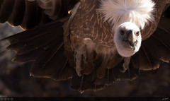Griffon Vulture Close-Up (Vegard Haugland) Tags: holiday bird grancanaria vulture palmitospark griffonvulture