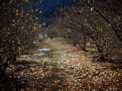 At a narrow footpath where wintersweets bloom (photoholic image) Tags: winter plant flower nature bokeh path footpath narrow chimonanthus wintersweet voigtalandernokton25mmf095