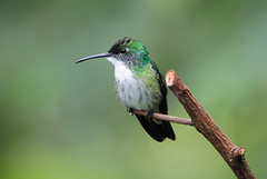 White-chested Emerald - 1770 (Len Blumin) Tags: hummingbird trinidad whitechestedemerald
