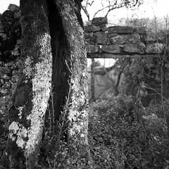 feridas .  wounds (Antnio Alfarroba) Tags: abandoned ruin 120film ruina olivetree abandono oliveira ilfordfp4 hasselblad501cm