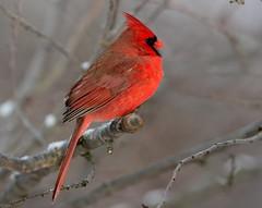 Cardinal (snooker2009) Tags: winter snow male bird nature birds outdoors cardinal wildlife getty thewonderfulworldofbirds dailynaturetnc12