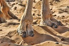 Camel Toe (David K. Edwards) Tags: sahara clothing sand ship pussy camel cameltoe labia vulva saharadesert labas cameltoes pudenda downthere monsveneris labiamajora shipofthedesert moundofvenus