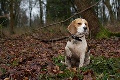 Flossy returns from AWOL (kerrywho) Tags: beagle flossy greyfieldwoods kerrywho