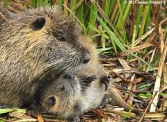Nutria Mom & Baby - Lake Martin, Louisiana (Image Hunter 1) Tags: baby playing nature grass fur mom louisiana play young whiskers bayou swamp playful nutria natureconservancy lakemartin specanimal canoneos7d cypressislandpreserve