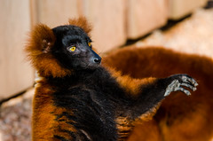 DSC_3239 (PeSoPhoto) Tags: red zoo nikon lemur xp artis ruffed 80400 d7000
