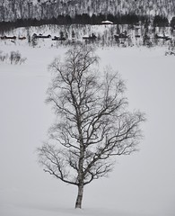 Mountain birch and white snow (Martin Ystenes - hei.cc) Tags: tree norway norge vinter birch sunnmre bjrk sykkylven fjellsetra ystenes martinystenes