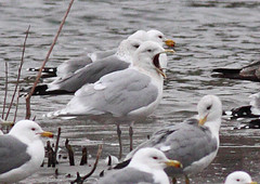 Iceland Gull (Winter adult) (Keith Carlson) Tags: gulls icelandgull larusglaucoides larusglaucoideskumlieni kumliens