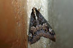 Sundowner Moth (Sphingomorpha chlorea), Sakania, DRC (Terathopius) Tags: moth congo drc drcongo canonef100mmf28 canoneos5dmkii sphingomorphachlorea sundownermoth sakania