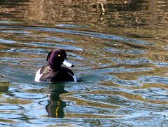 Fuligule morillon (a.laruelle) Tags: canal oiseau canard mfcc fabuleuse