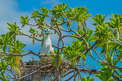 Nesting Red-footed Booby (Loren Mooney) Tags: life wild nature birds animals natural nest wildlife tropical kiribati nesting redfootedbooby christmasisland sulasula