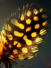 Feather falling (~shiya~) Tags: newzealand bird nature feather auckland birdfeather ~shiya~ featherwithyellowspots