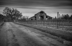 Slusser Barn (Bob Bowman Photography) Tags: california road blackandwhite bw tree grass northerncalifornia clouds barn vineyard oak vines nikon sonomacounty oaktree stakes bowman d600 bobbowman rmbimages slusserroad robertbowmanphotography