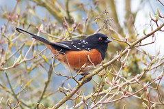 Spotted Towhee (Dave In Oregon) Tags: bird nature canon20d redeye birdwatcher spottedtowhee pipilomaculatus hopewelloregon
