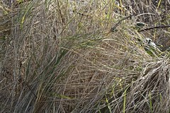 Wintered Grass (anthonyfalla) Tags: winter brown black reflection water grass grasses winterplants