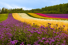 Rainbow Dreams (arcreyes [-ratamahatta-]) Tags: flowers trees summer japan colorful hokkaido day cloudy hill lavender  fields    slope furano  nakafurano  farmtomita  hokkaidoprefecture sorachidistrict