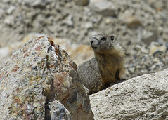 yellow-bellied marmot (Marmota flaviventris), NV 1 (Tatiana Gettelman) Tags: pictures nature animal animals mammal outdoors photo rocks natural image photos pics wildlife nevada picture pic images nv photographs photograph marmot mammals marmots yellowbellied marmota flaviventris