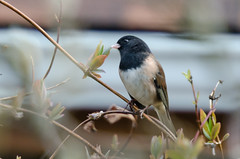 Dark-eyed Junco (Adult) (lessnopsmorejmps) Tags: male bird adult pale darkeyedjunco nikkortc17eii nikond7000 nikkor70200mmf28vrii oregonvariant