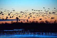 Dawn at the Platte River during the Migration Season of Sandhill Cranes  [9310] (cl.lin) Tags: bird nature sunrise river dawn nebraska wildlife birding sigma cranes migration platte kearney sandhill grandisland platteriver d600 nikcon