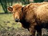 Curly Cow (saxonfenken) Tags: portrait brown animal cow horns curly steer bovine bigmomma gamewinner friendlychallenges farnanimal storybookwinner pregamewinner march2013field 159animal159